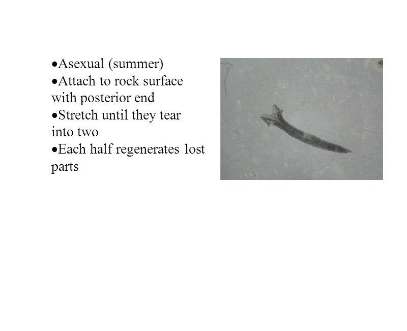 Asexual (summer) Attach to rock surface with posterior end.