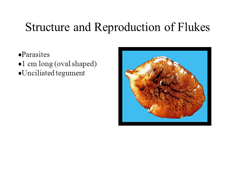 Structure and Reproduction of Flukes