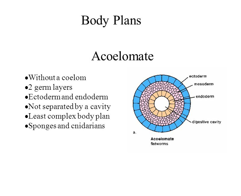 Body Plans Acoelomate Without a coelom 2 germ layers