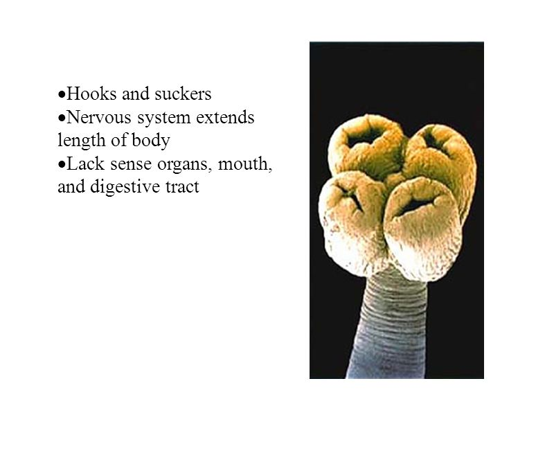 Hooks and suckers Nervous system extends length of body.