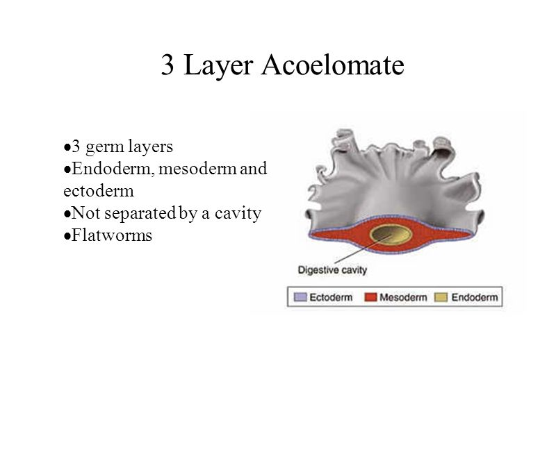 3 Layer Acoelomate 3 germ layers Endoderm, mesoderm and ectoderm
