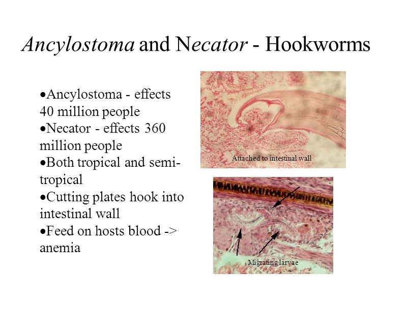 Ancylostoma and Necator - Hookworms