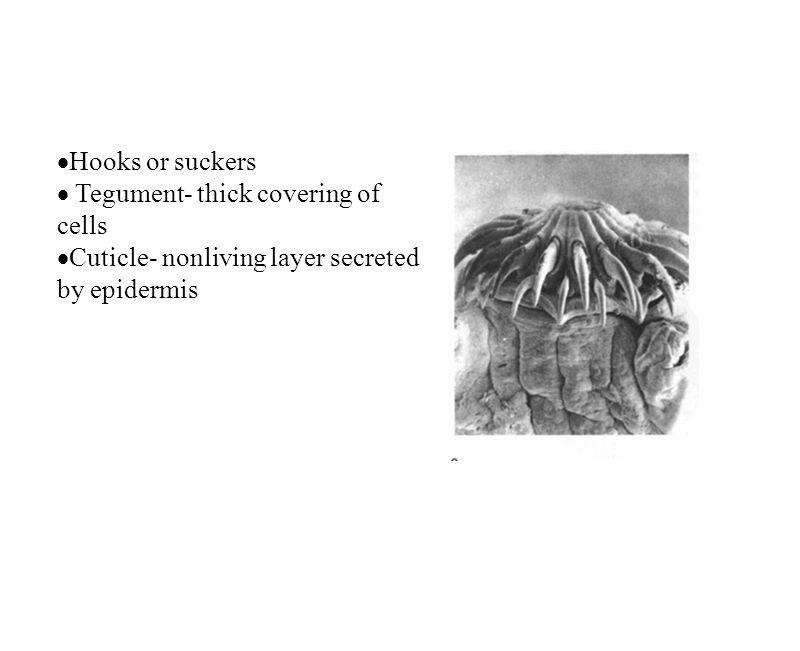 Hooks or suckers Tegument- thick covering of cells Cuticle- nonliving layer secreted by epidermis