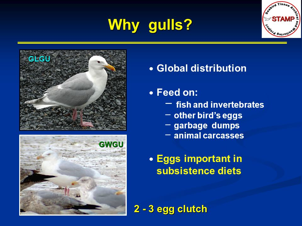 Why gulls Global distribution Feed on: fish and invertebrates