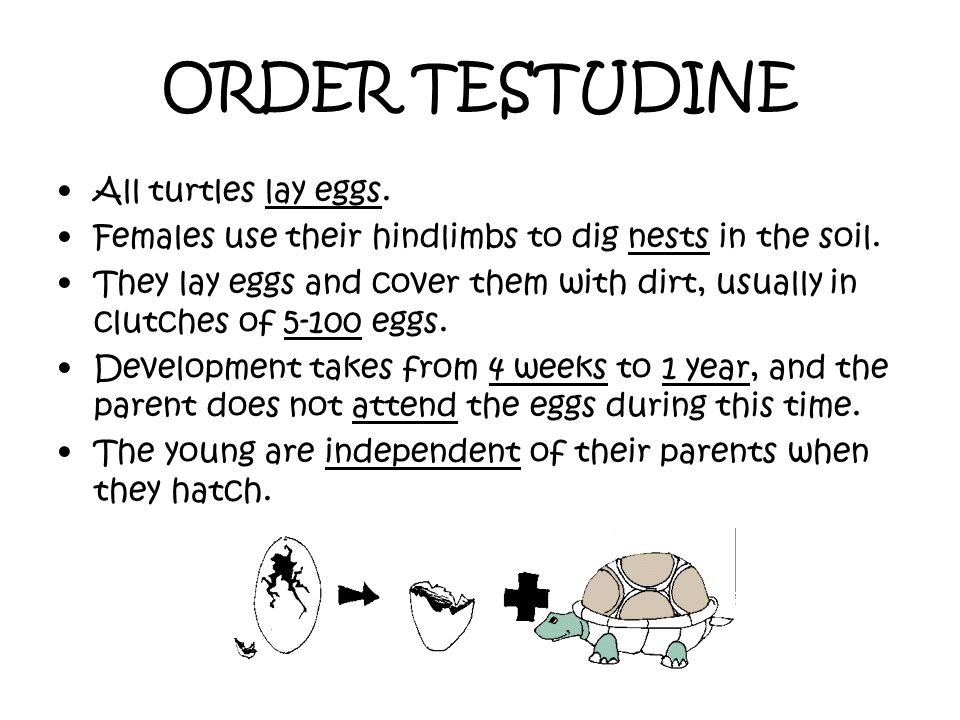 ORDER TESTUDINE All turtles lay eggs.