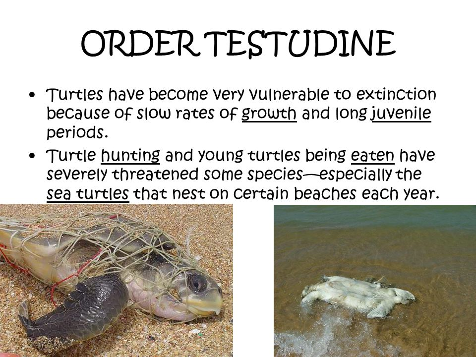ORDER TESTUDINE Turtles have become very vulnerable to extinction because of slow rates of growth and long juvenile periods.