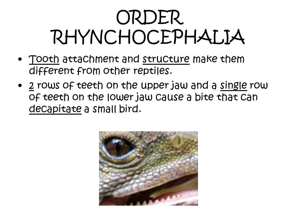 ORDER RHYNCHOCEPHALIA