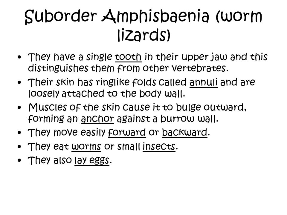 Suborder Amphisbaenia (worm lizards)