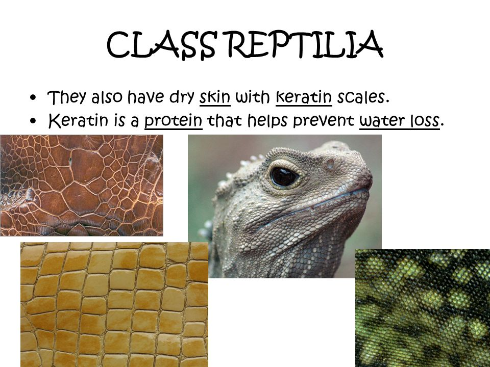 CLASS REPTILIA They also have dry skin with keratin scales.