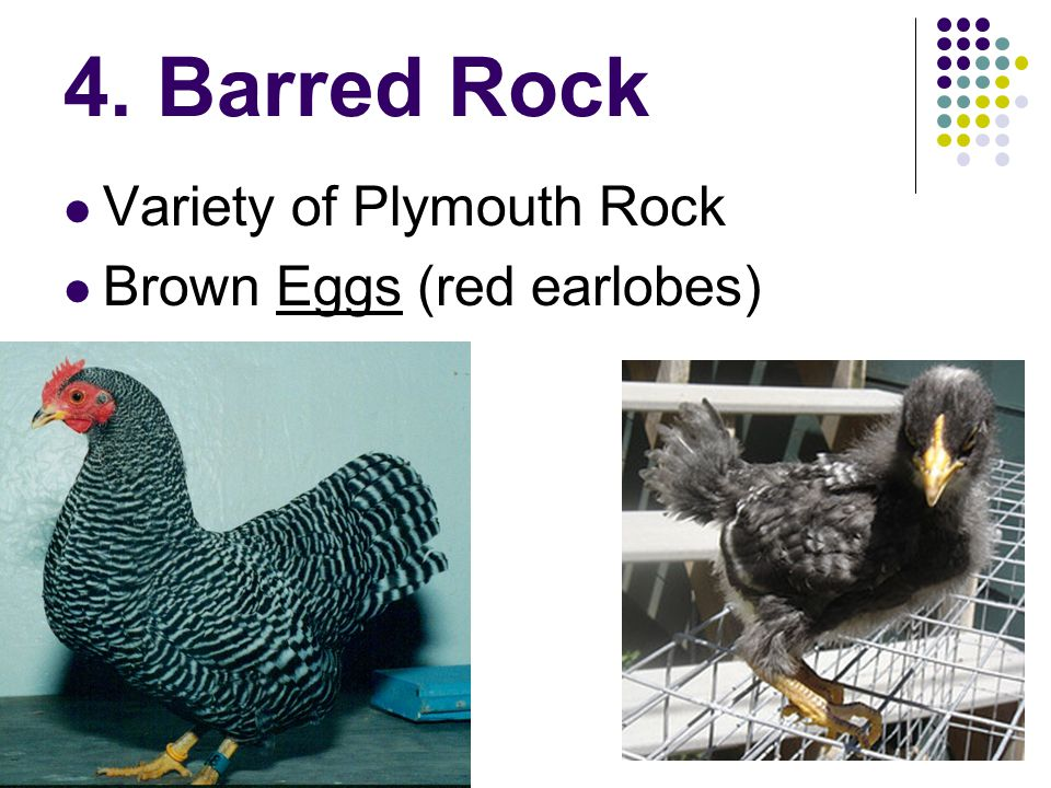 4. Barred Rock Variety of Plymouth Rock Brown Eggs (red earlobes)