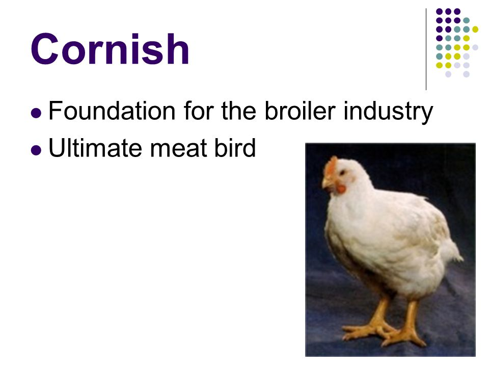 Cornish Foundation for the broiler industry Ultimate meat bird