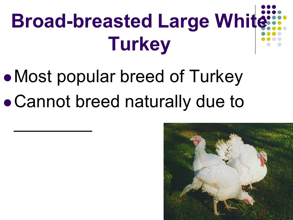 Broad-breasted Large White Turkey