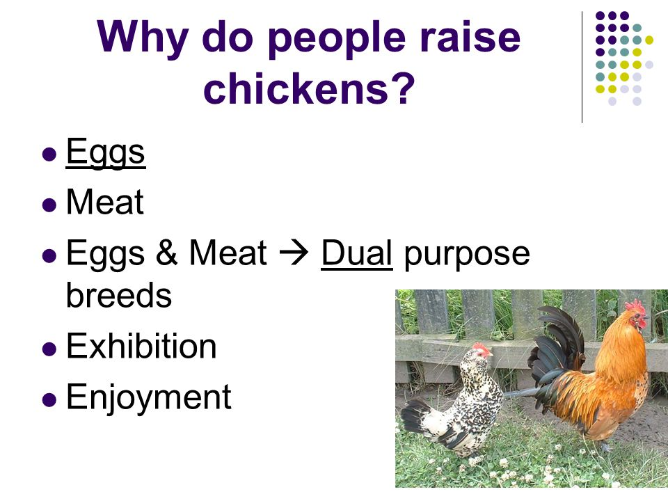 Why do people raise chickens