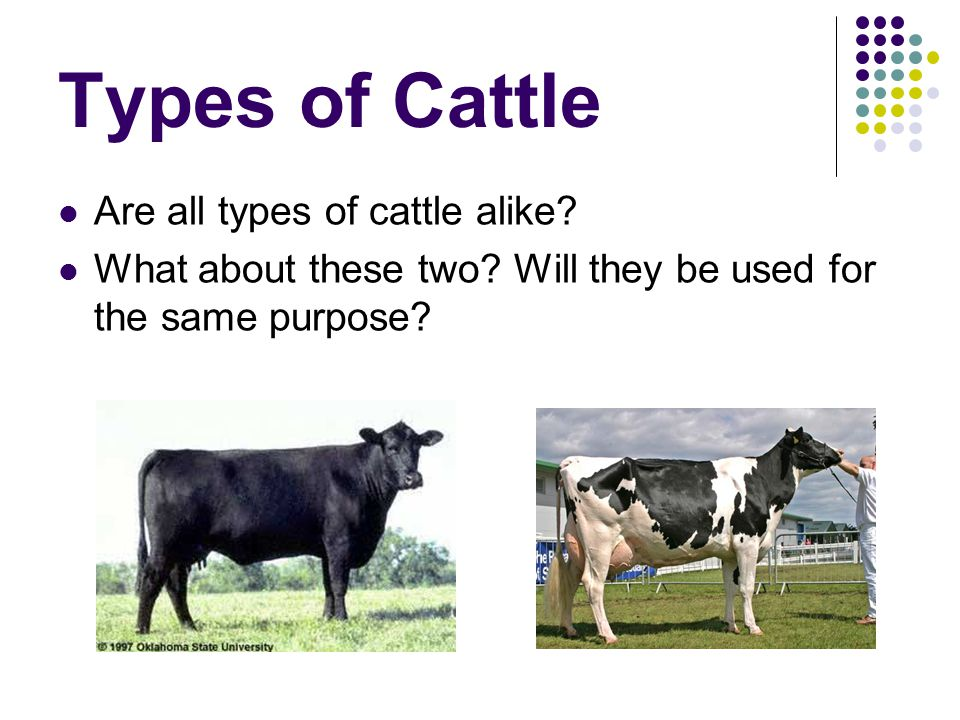 Types of Cattle Are all types of cattle alike