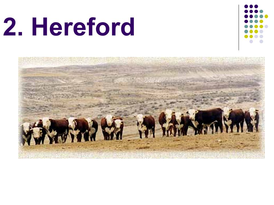 2. Hereford