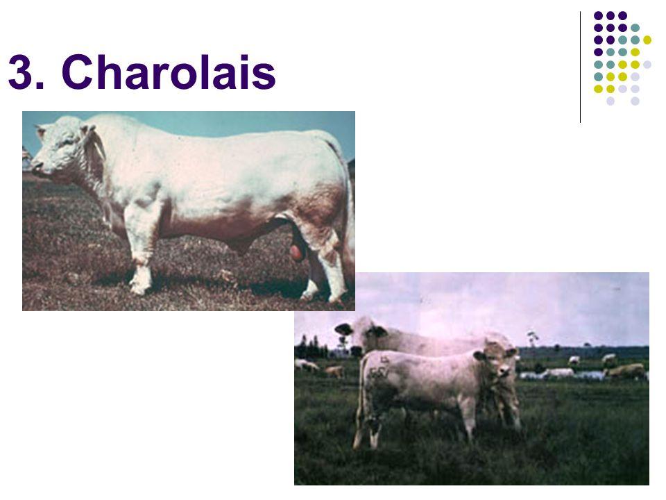 3. Charolais
