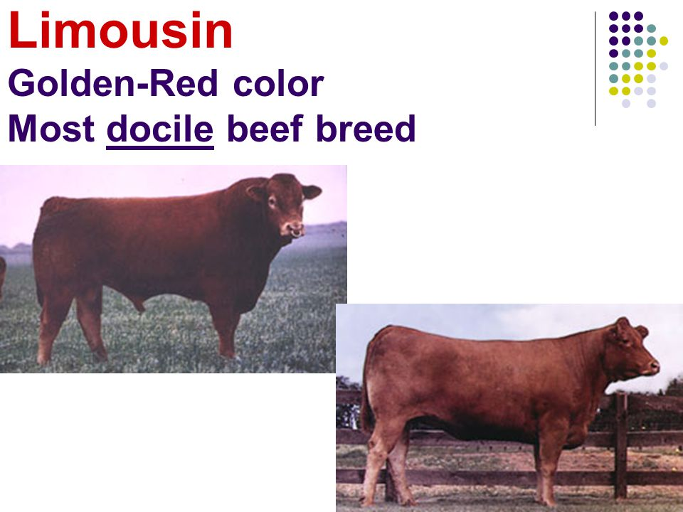 Limousin Golden-Red color Most docile beef breed