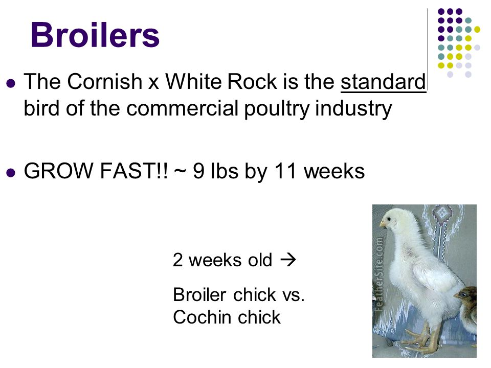 Broilers The Cornish x White Rock is the standard bird of the commercial poultry industry. GROW FAST!! ~ 9 lbs by 11 weeks.