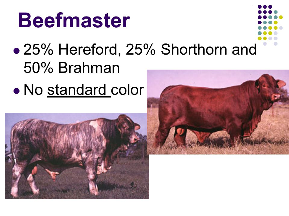 Beefmaster 25% Hereford, 25% Shorthorn and 50% Brahman