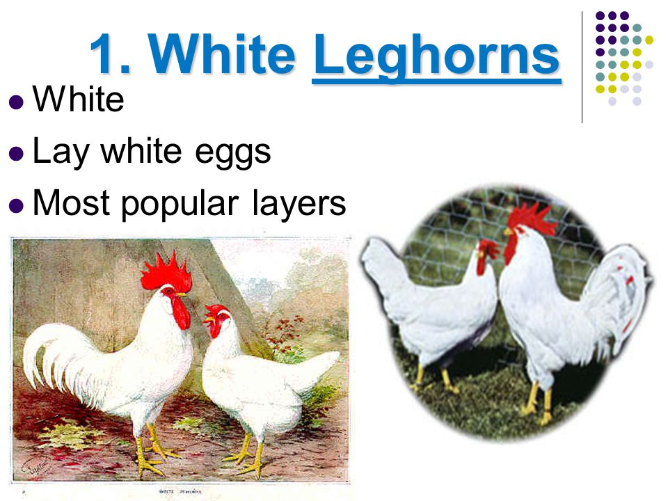 1. White Leghorns White Lay white eggs Most popular layers
