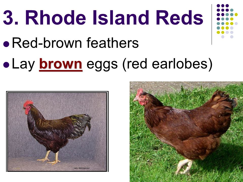 3. Rhode Island Reds Red-brown feathers Lay brown eggs (red earlobes)