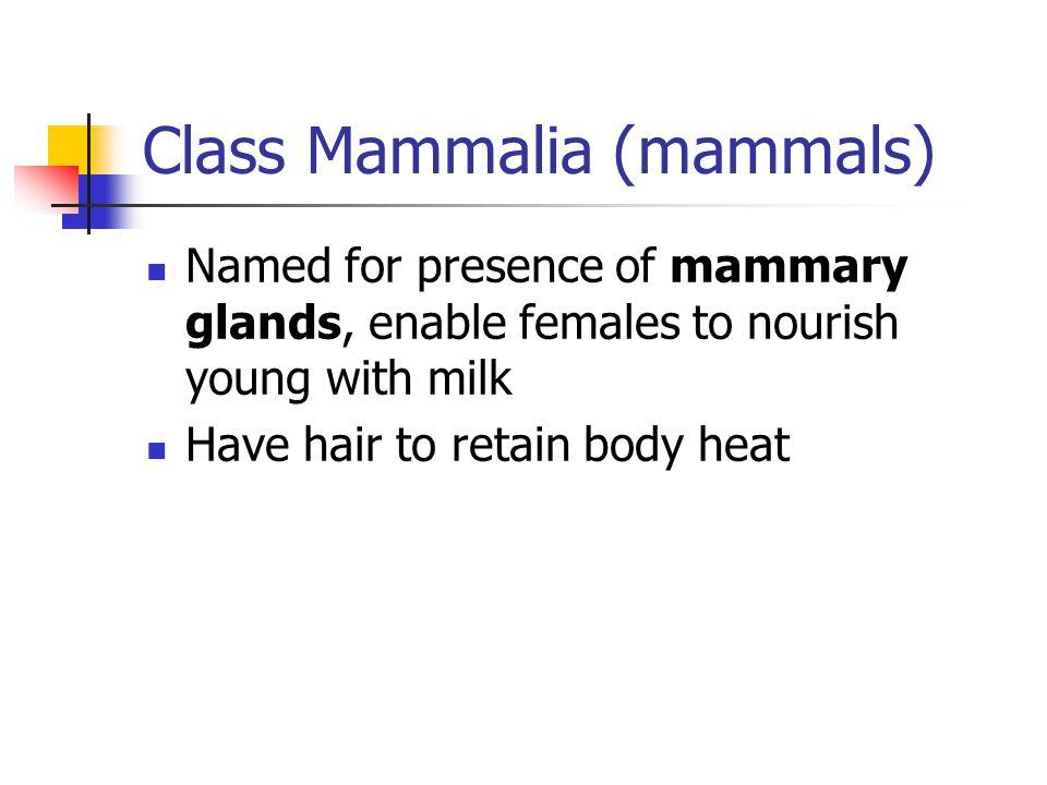 Class Mammalia (mammals)