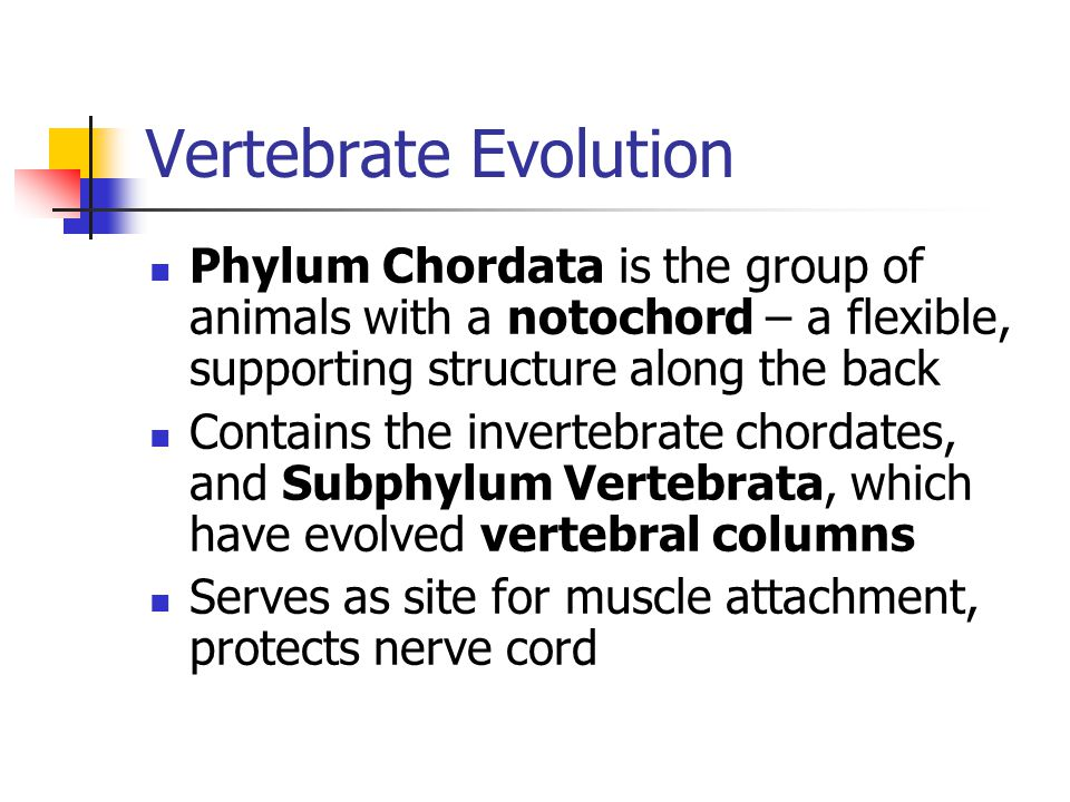 Vertebrate Evolution Phylum Chordata is the group of animals with a notochord – a flexible, supporting structure along the back.