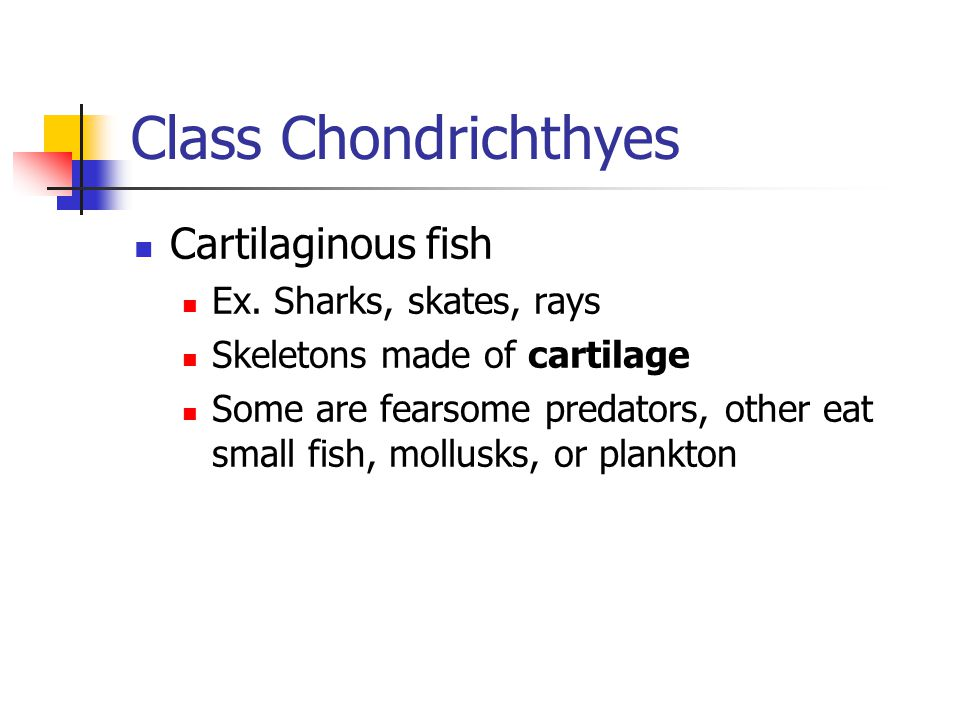 Class Chondrichthyes Cartilaginous fish Ex. Sharks, skates, rays