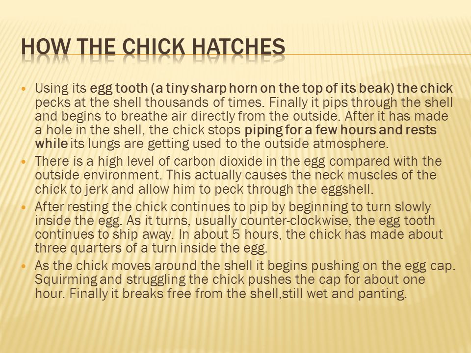 How the chick hatches