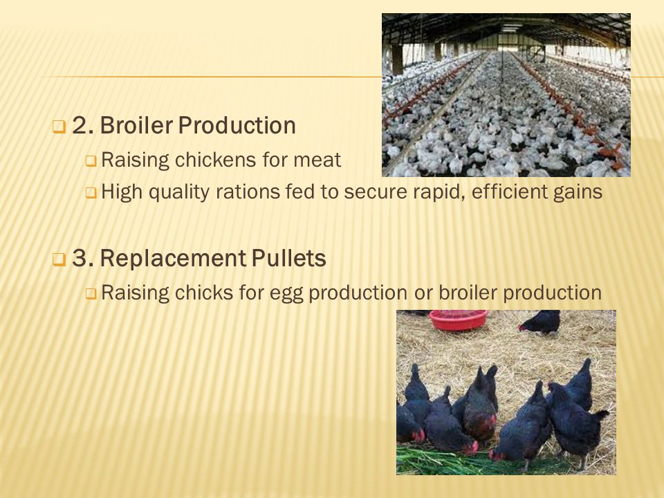 2. Broiler Production 3. Replacement Pullets Raising chickens for meat