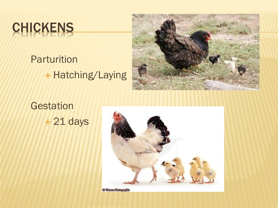 CHICKENS Parturition Hatching/Laying Gestation 21 days