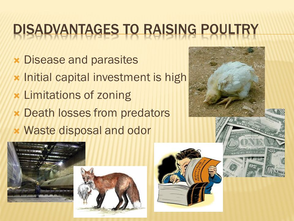 Disadvantages to raising poultry