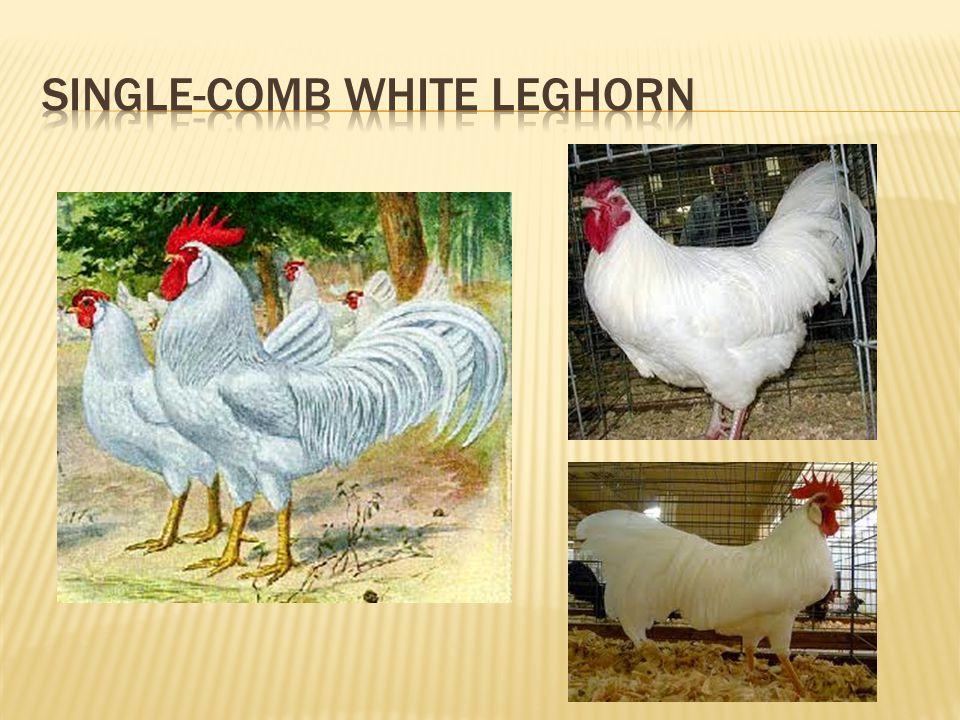 Single-Comb White Leghorn