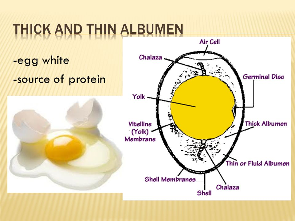 Thick and Thin Albumen -egg white -source of protein