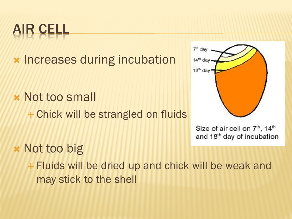 Air Cell Increases during incubation Not too small Not too big