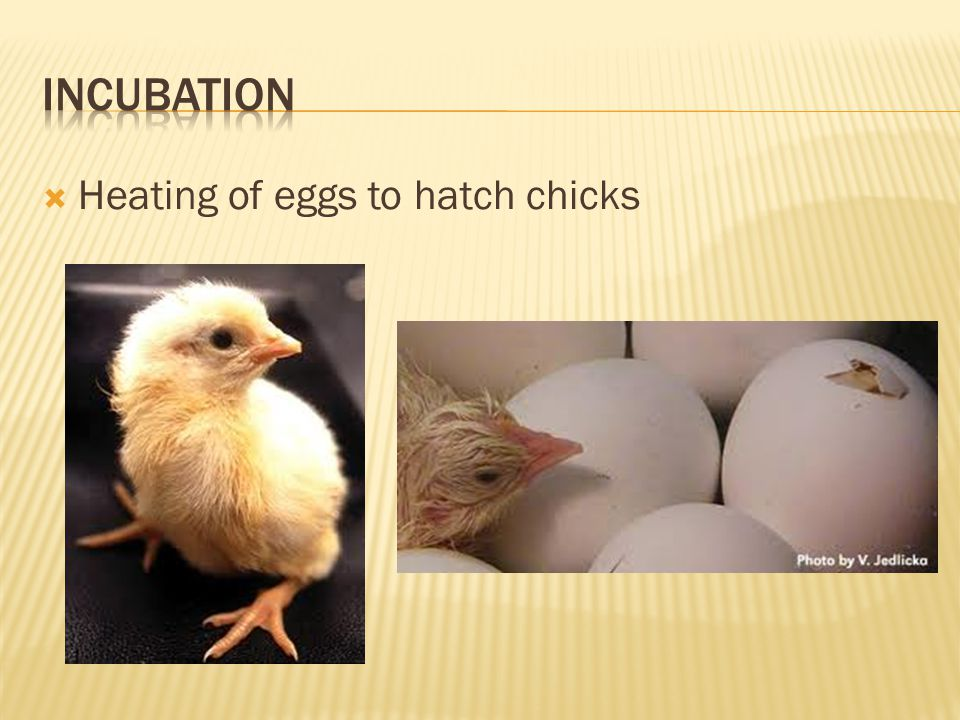 Incubation Heating of eggs to hatch chicks