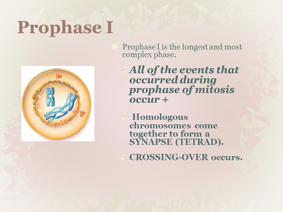 Prophase I Prophase I is the longest and most complex phase. All of the events that occurred during prophase of mitosis occur +