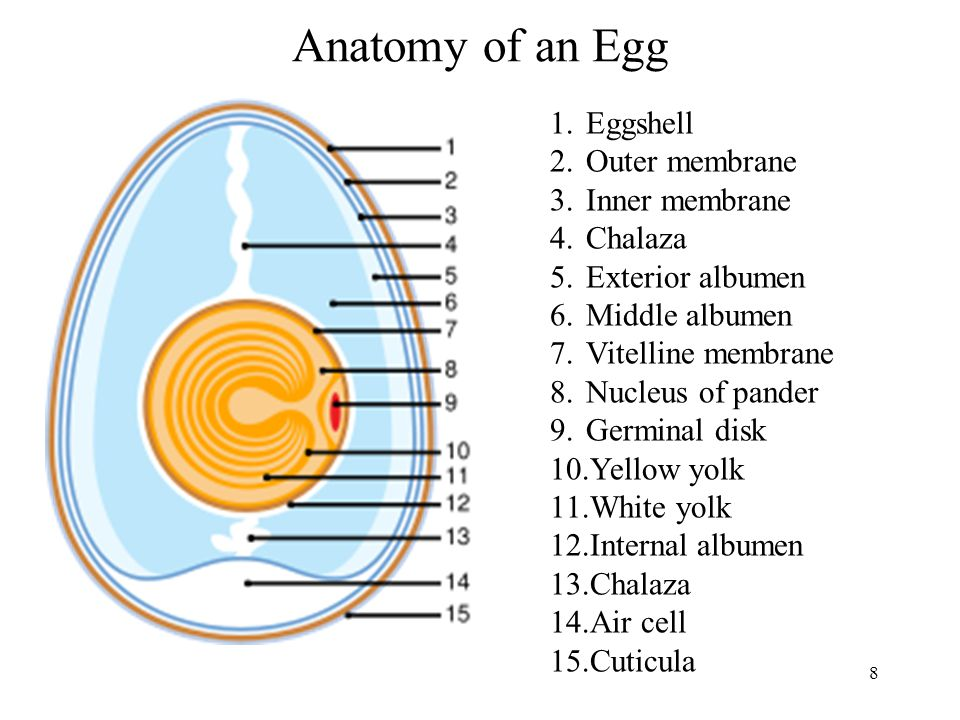 Anatomy of an Egg Eggshell Outer membrane Inner membrane Chalaza