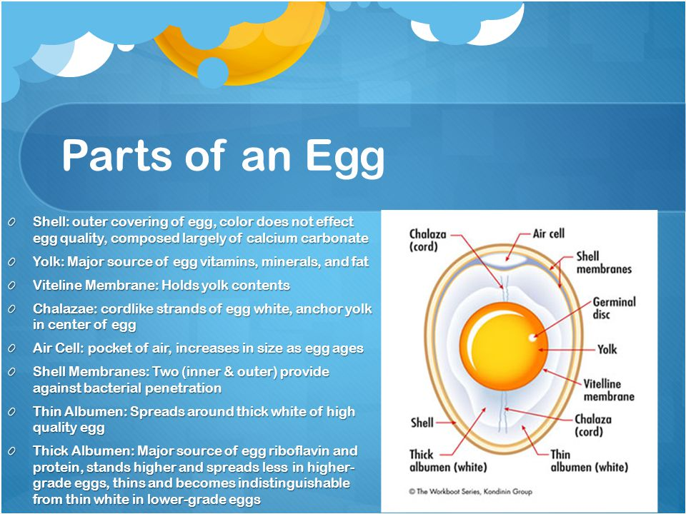 Parts of an Egg Shell: outer covering of egg, color does not effect egg quality, composed largely of calcium carbonate.