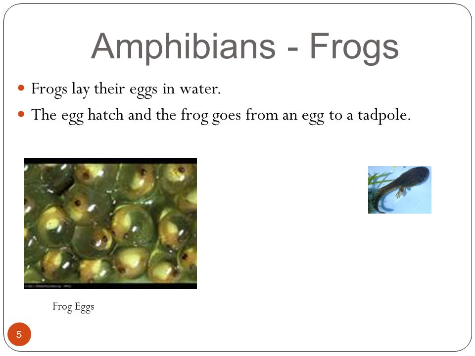 Amphibians - Frogs Frogs lay their eggs in water.
