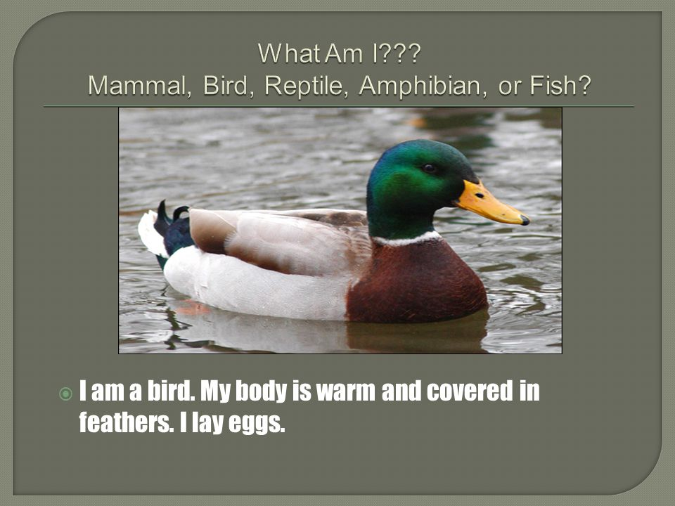 What Am I Mammal, Bird, Reptile, Amphibian, or Fish