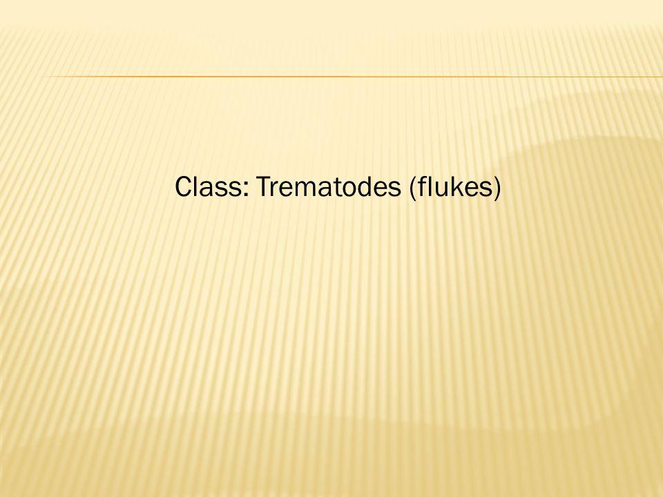 Class: Trematodes (flukes)