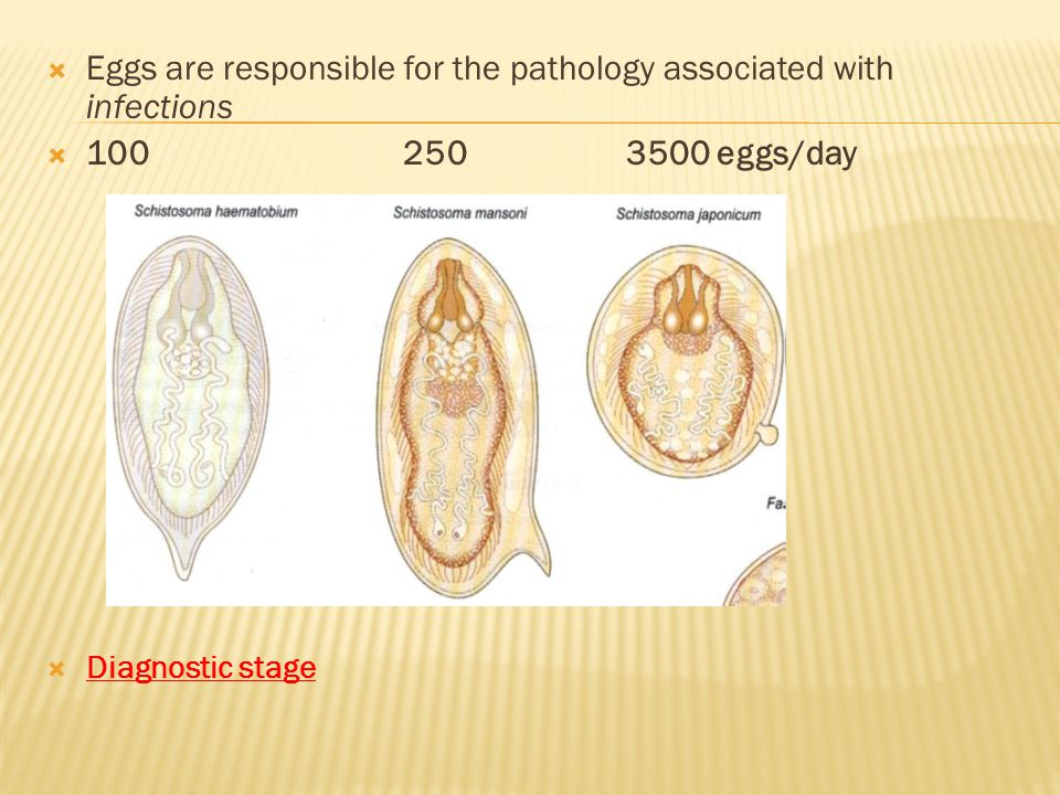 Eggs are responsible for the pathology associated with infections