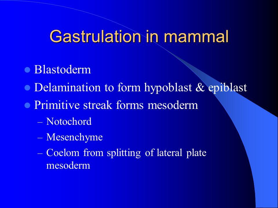 Gastrulation in mammal