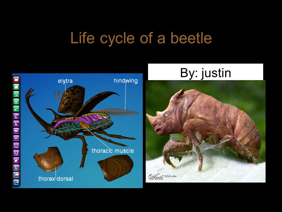 Life cycle of a beetle By: justin