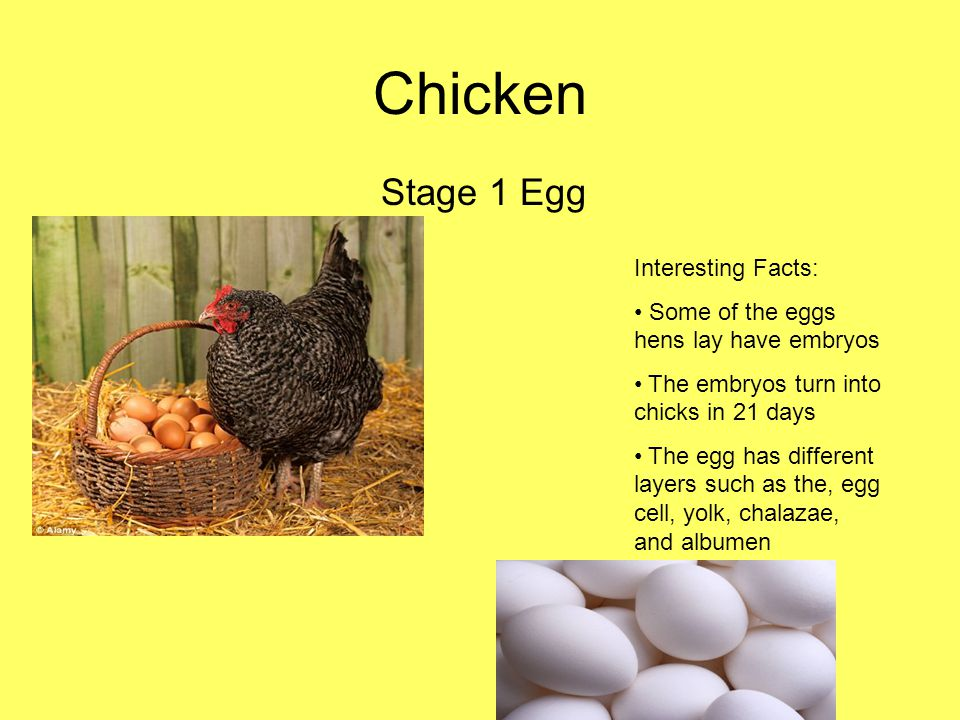 Chicken Stage 1 Egg Interesting Facts: