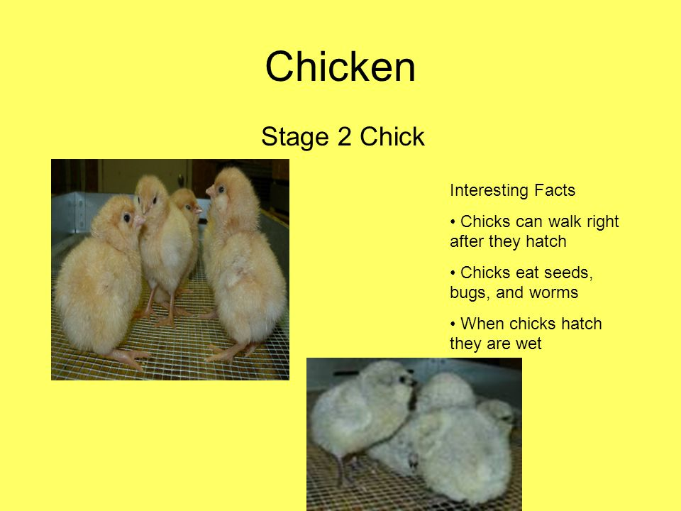 Chicken Stage 2 Chick Interesting Facts