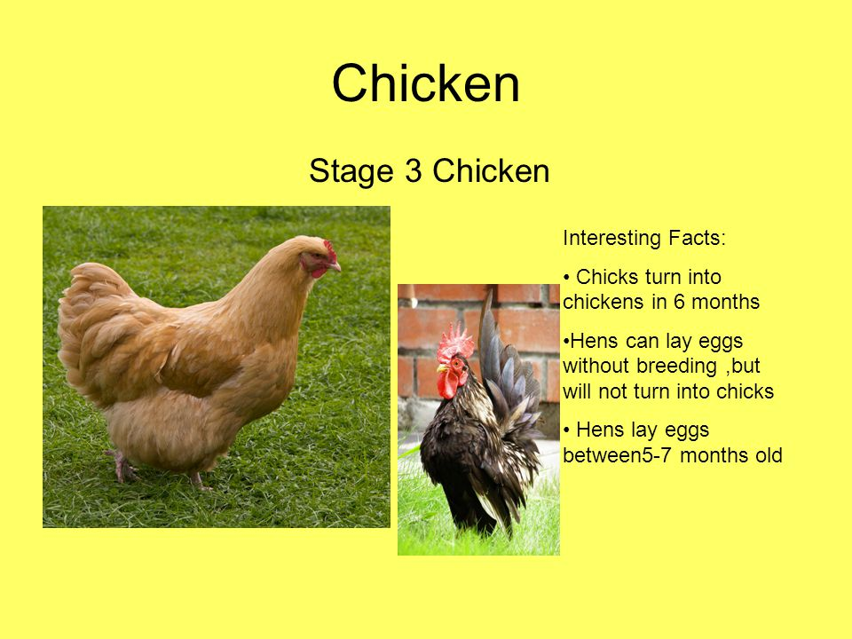 Chicken Stage 3 Chicken Interesting Facts:
