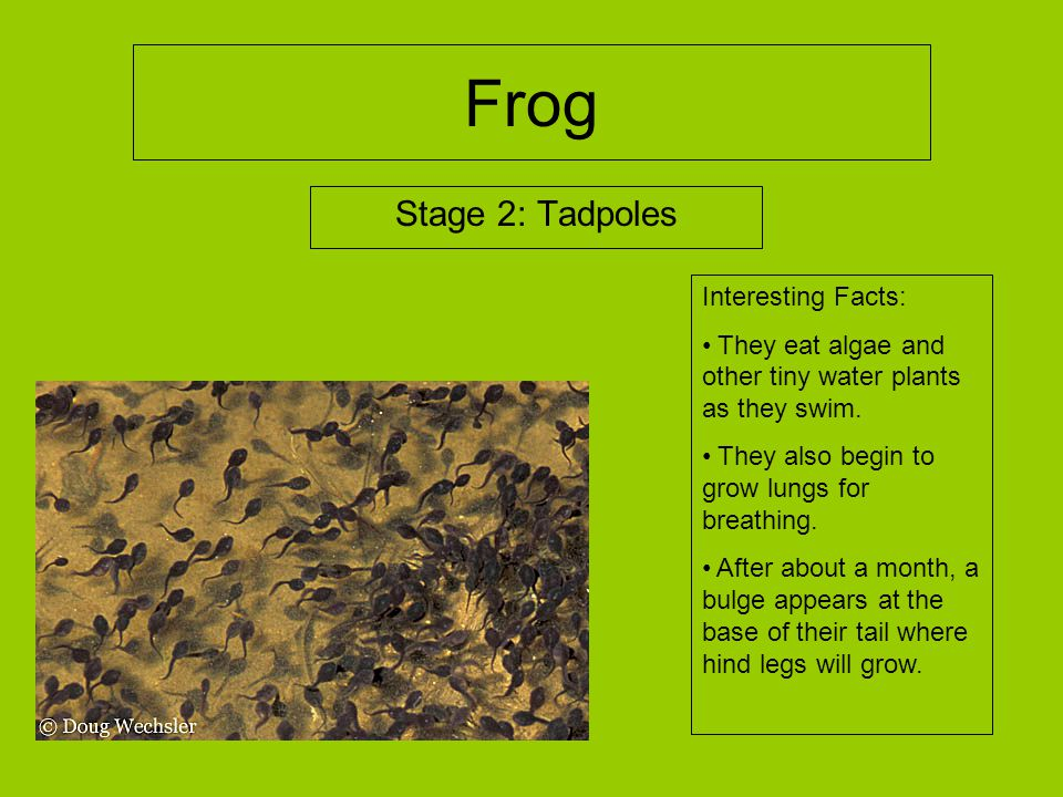Frog Stage 2: Tadpoles Interesting Facts:
