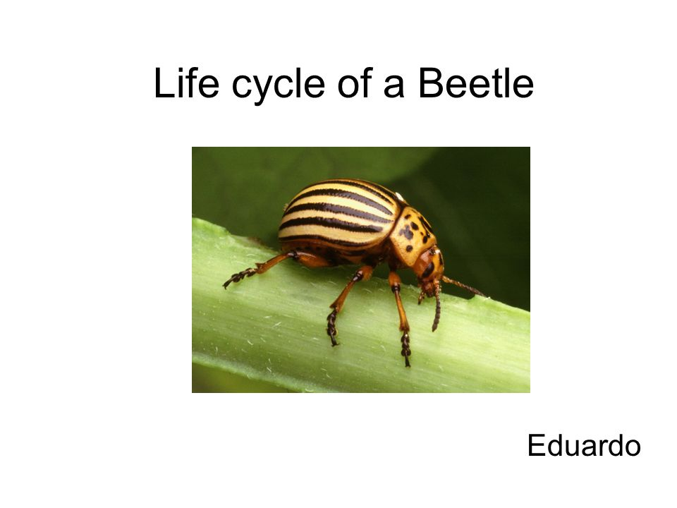 Life cycle of a Beetle Eduardo